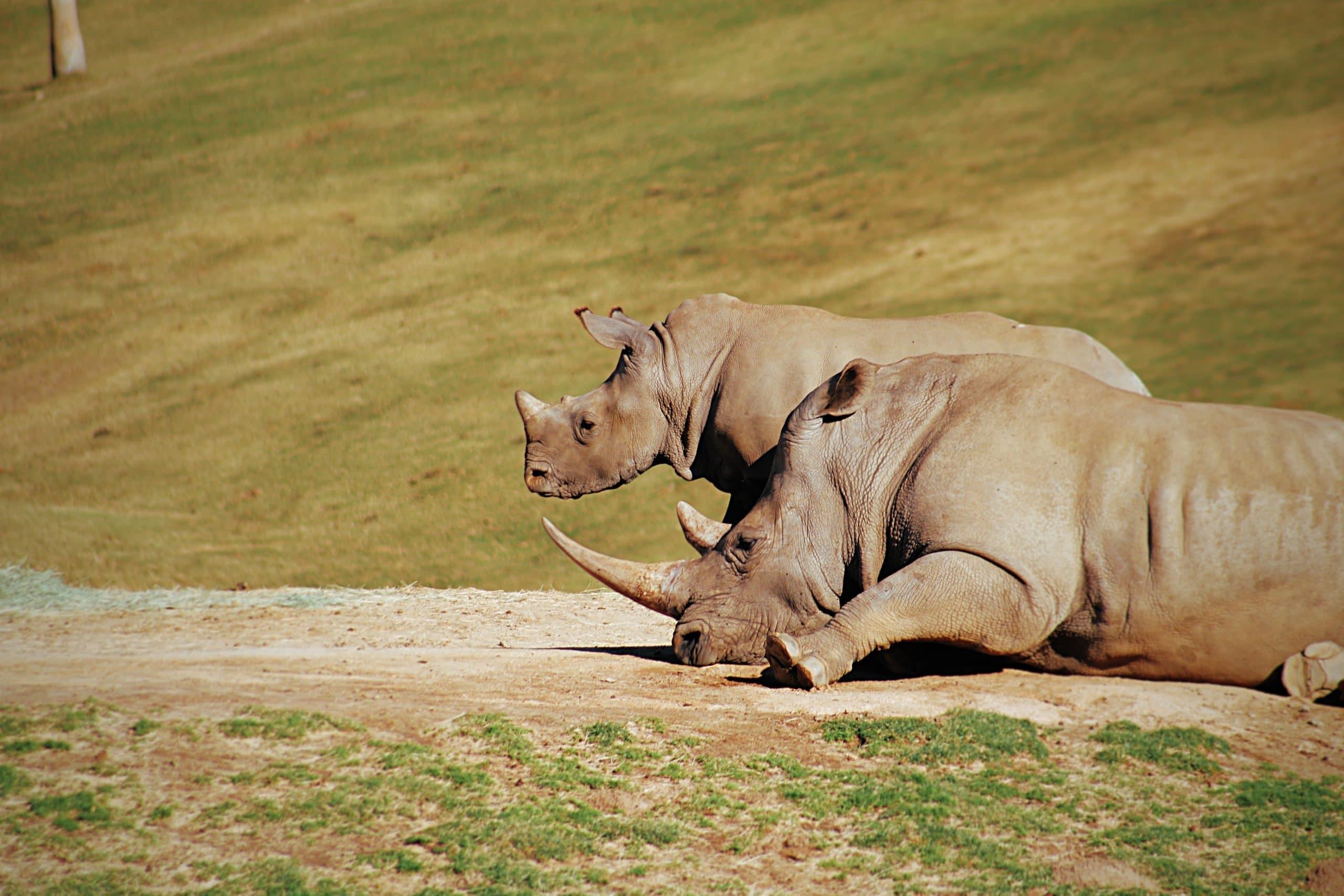 Wildlife Photo of Rhinos