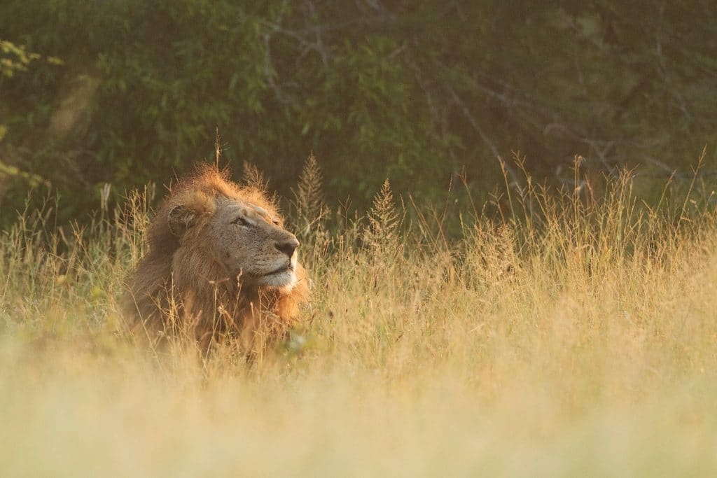 Photographing Loin - Wildlife Photography tips