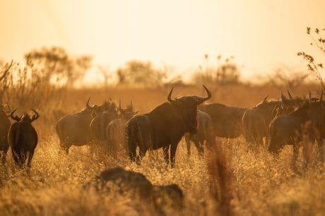 Tips for Wildlife Photography of buffalos
