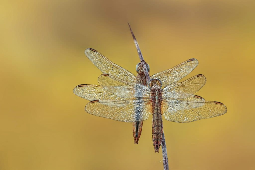 How to photograph dragon flies- Tips for Photographing Insects
