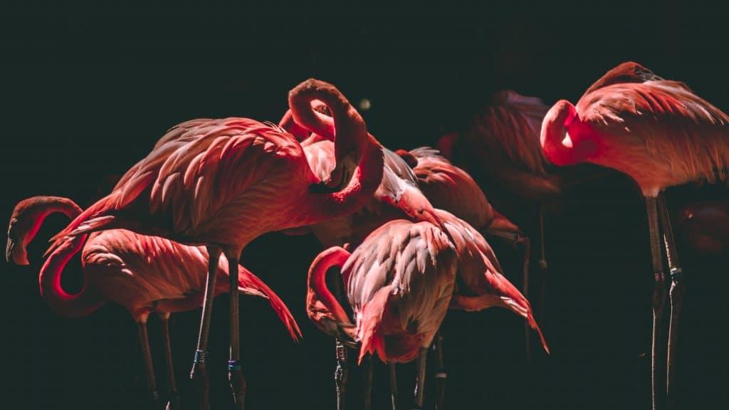 Flock of flamingos - How to photograph birds