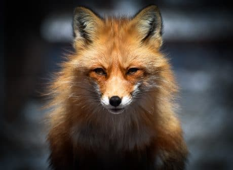 Fox with blurred background - How to Blur Background in Lightroom