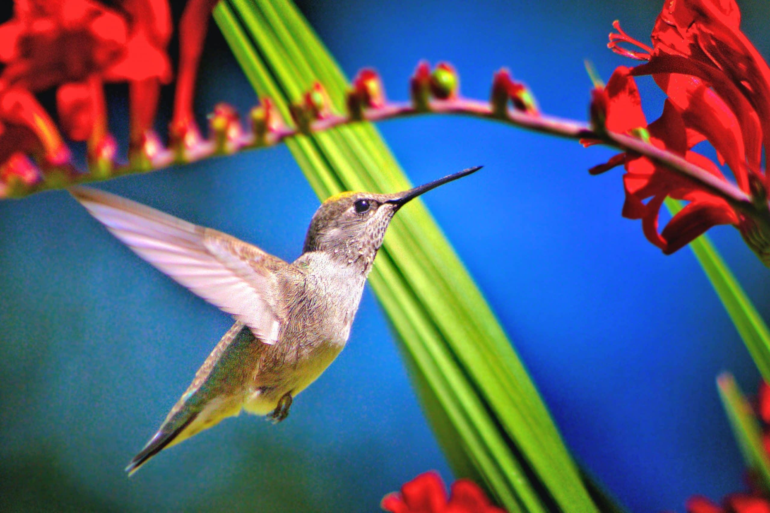 How to photograph a Hummingbird