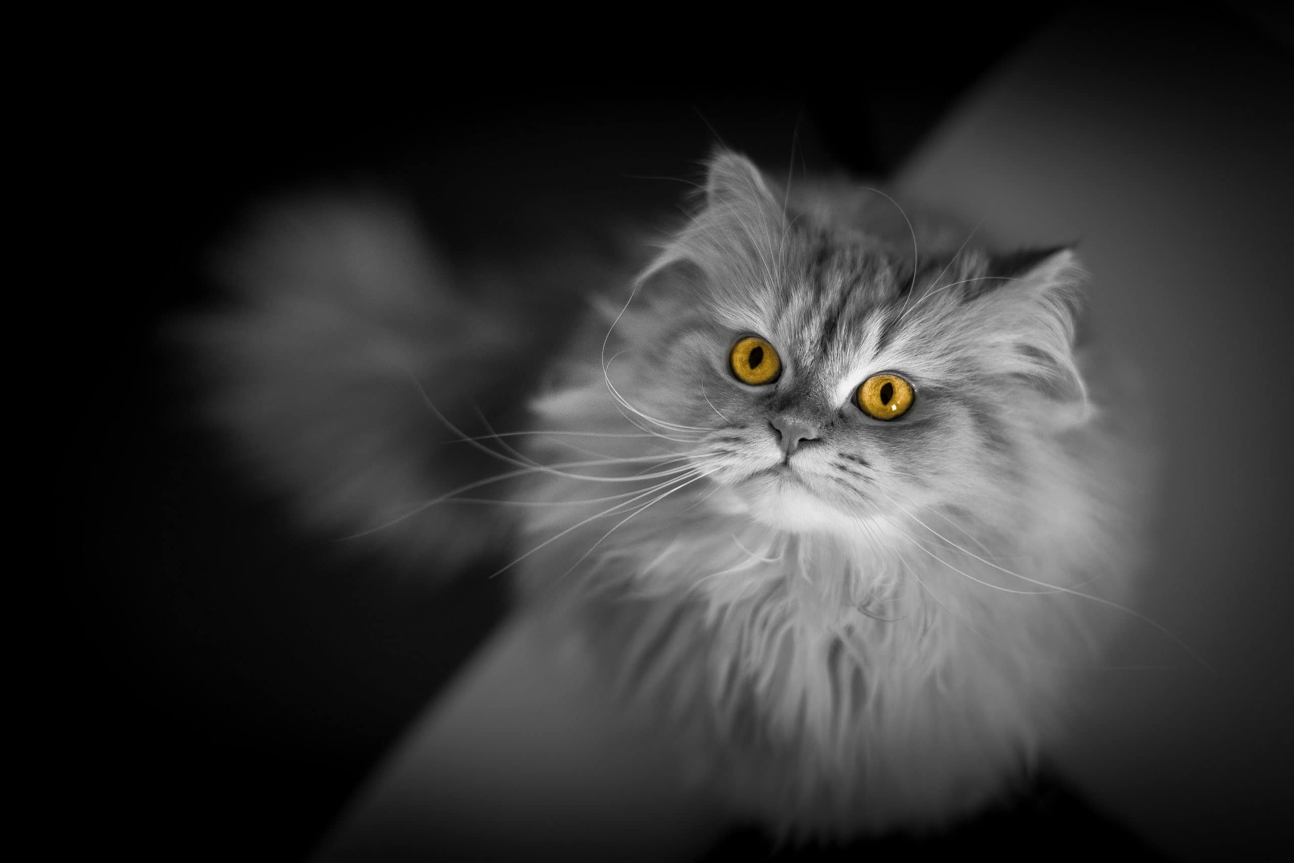 Bright eyes of cat - How to Use Selective Color in Photoshop